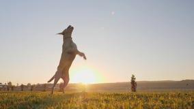 Собаки скачут и улавливают шарик на природе на заходе солнца видеоматериал