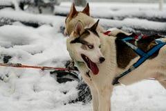 Собаки скелетона в проводке готовой для того чтобы повезти своего пассажира на розвальнях в приполюсной финской Лапландии стоковое фото