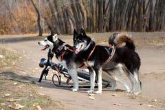 2 собаки скелетона после собаки отслеживая конкуренции стоковое изображение