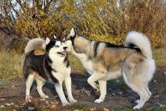2 собаки скелетона страстно желая злословят в парковке в лесе стоковая фотография rf