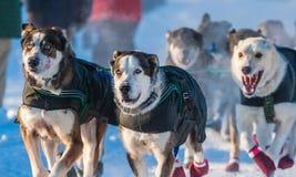 Собаки скелетона поисков Юкона Стоковые Изображения RF