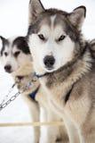 2 собаки скелетона Эскимос обузданной в снеге для Dogsledding в Минесоте Стоковое фото RF