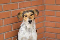 Собаки смешанных помех породы женские сидя против кирпичной стены и умоляя еде Стоковые Изображения