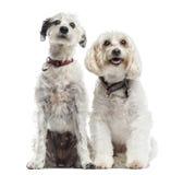 2 собаки Смешанн-породы, сидя совместно Стоковые Фотографии RF