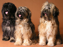 собаки смеясь над 3 Стоковые Изображения