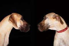 Собаки смотря лицом к лицу Стоковые Фото