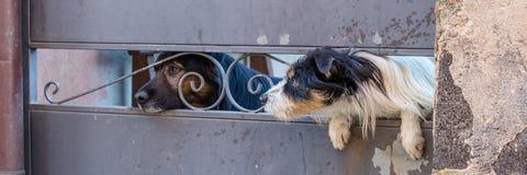 2 собаки смотря через загородку стоковое изображение
