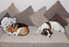 Собаки спать стоковое изображение rf