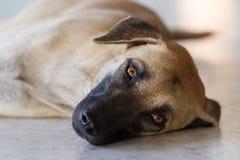 Собаки спят на поле цемента и вытаращиться с глазами которые так Стоковая Фотография RF