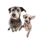 2 собаки стоя вверх умоляющ Стоковое Фото