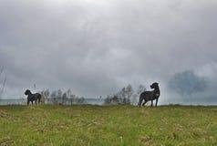 2 собаки стоя и защищая территория Стоковая Фотография RF