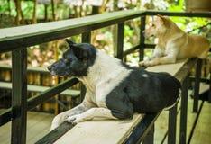 Собаки Таиланд стоковая фотография