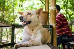 Собаки Таиланд стоковые изображения