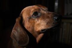 Собаки таксы на темной предпосылке Стоковое фото RF