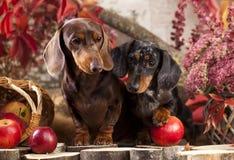 Собаки таксы Стоковые Фото