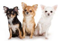 собаки чихуахуа Стоковая Фотография