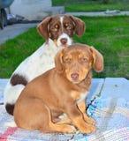 Собаки щенка - братья Стоковые Фото