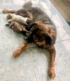 Собаки щенка выпивают молоко стоковая фотография rf