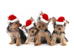 Собаки щенка с милым выражением и шляпой Санты стоковая фотография