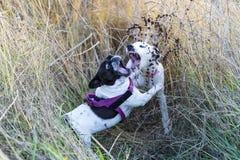 2 собаки щенят играя в поле на заходе солнца стоковые изображения