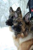 собаки 2 Стоковые Изображения RF
