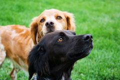 собаки 2 стоковое изображение rf