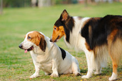 собаки 2 Стоковая Фотография RF