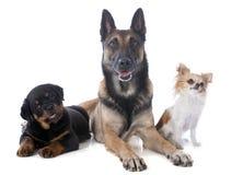 3 собаки Стоковые Изображения