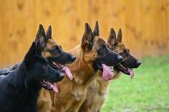 собаки 4 Стоковое Изображение RF