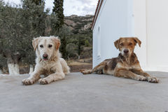 Собаки Стоковое Изображение
