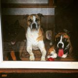 Собаки! Стоковое Фото