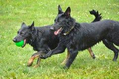 Собаки 06-2017 Стоковая Фотография RF