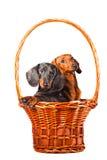 собаки dachshund корзины сидя белизна Стоковые Фото