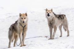 2 собаки greenlandic инуита sledding стоя на сигнале тревоги в sno стоковая фотография