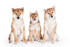 3 собаки inu shiba на белизне Стоковое Изображение