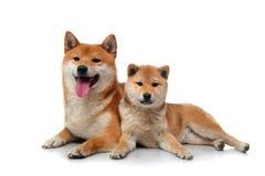 2 собаки inu shiba на белизне Стоковые Изображения RF
