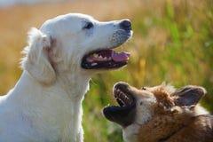 собаки outdoors играя 2 Стоковые Изображения