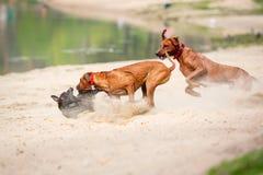 Собаки Outdoors Стоковые Фотографии RF