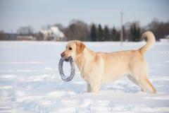 Собаки retriever Лабрадора Стоковое Изображение