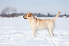 Собаки retriever Лабрадора Стоковые Фото