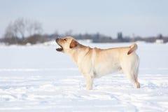Собаки retriever Лабрадора Стоковое Изображение RF
