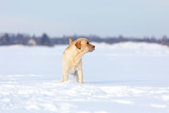 Собаки retriever Лабрадора Стоковое Фото