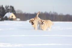 Собаки retriever Лабрадора Стоковая Фотография