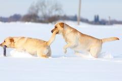Собаки retriever Лабрадора Стоковые Изображения RF