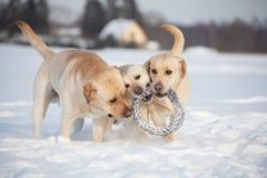 Собаки retriever Лабрадора Стоковые Фотографии RF