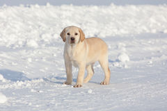 Собаки retriever Лабрадора Стоковое фото RF