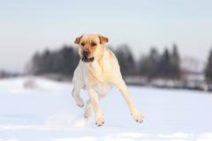 Собаки retriever Лабрадора Стоковые Изображения