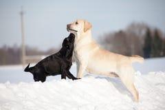 Собаки retriever Лабрадора Стоковая Фотография RF