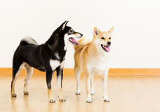 2 собаки shiba Стоковая Фотография