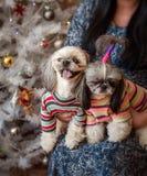 Собаки Shih-tzu Стоковые Фотографии RF